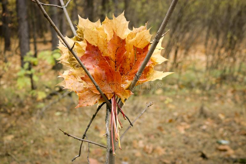 A bouquet of yellow, orange, red leaves of Canadian maple against the backdrop of an autumn forest. Blurred background. stock image