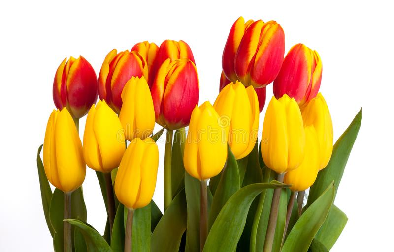 Bouquet of Yellow and red tulips isolated on white background stock photography