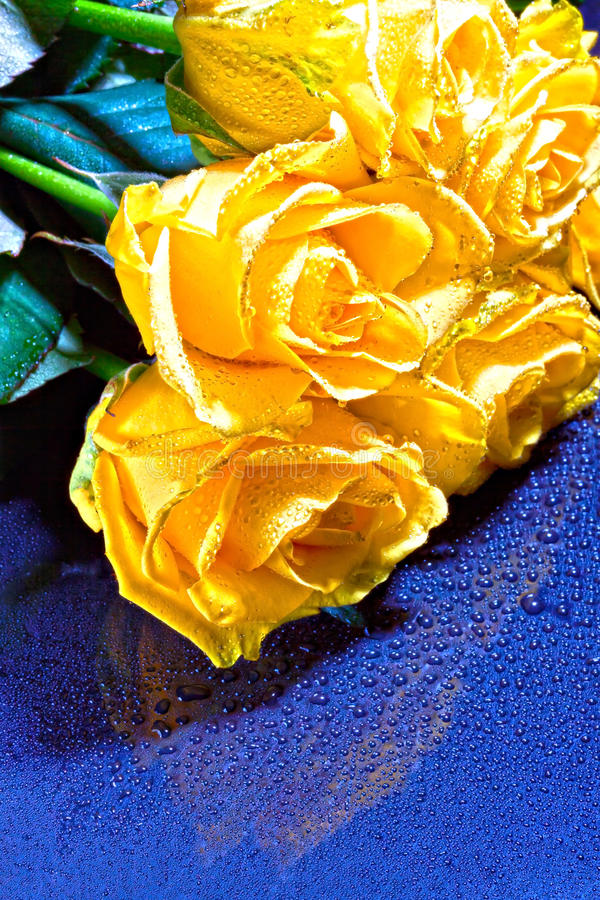 A bouquet of yellow roses with drops on a blue background stock photography