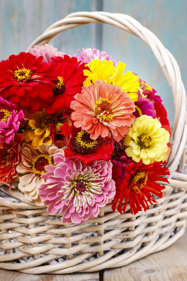 Bouquet Of Zinnia Flowers In Wicker Basket. Stock Photo