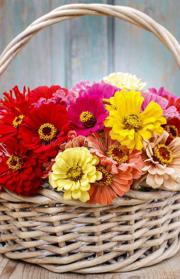 Download Bouquet Of Zinnia Flowers In Wicker Basket. Stock Image - Image: 43775361