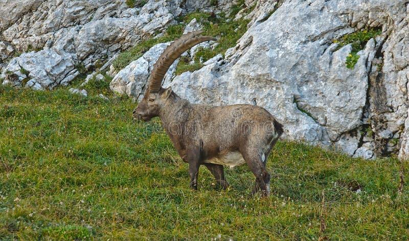 Bouquetin alpin européen sauvage dans l'environnement de nature photos libres de droits
