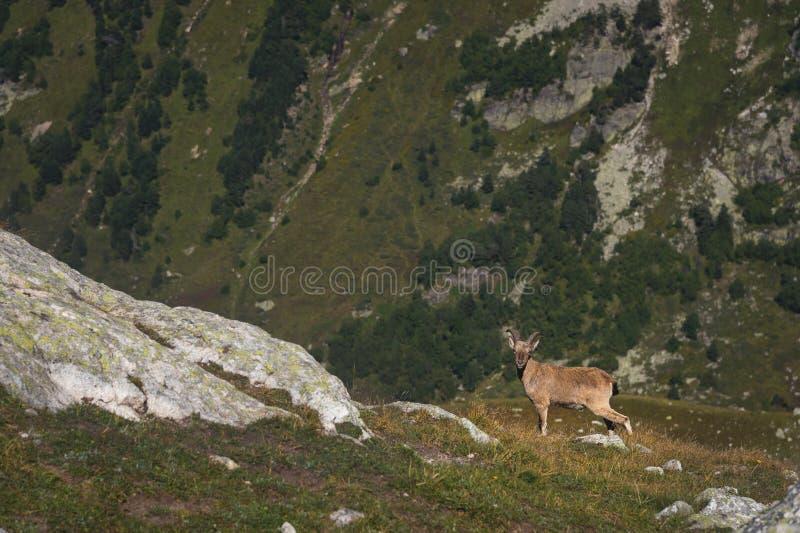 Bouquetin alpin masculin de Capra de chèvre à cornes sur la haute pierre de roches en montagnes de Dombay Caucase du nord Russie photographie stock