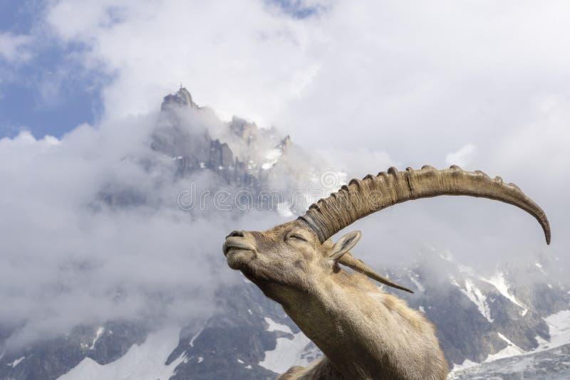 Bouquetin alpin sur un fond des montagnes photos libres de droits