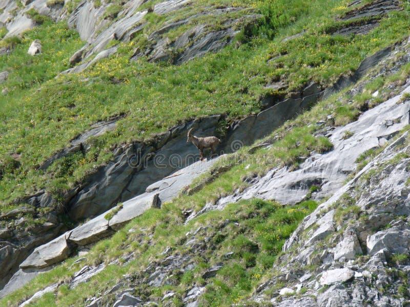 Bouquetin gratuit dans les Alpes français photographie stock