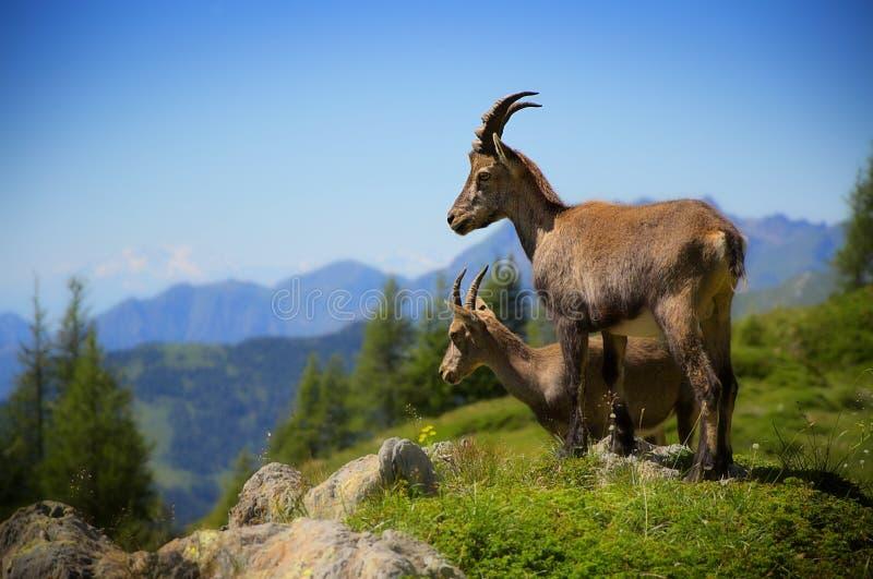 Bouquetins alpins photographie stock