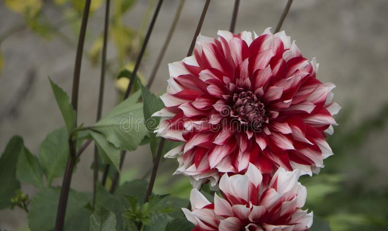 Bouquets of red dahlias in a street market. Selling flowers. royalty free stock photo