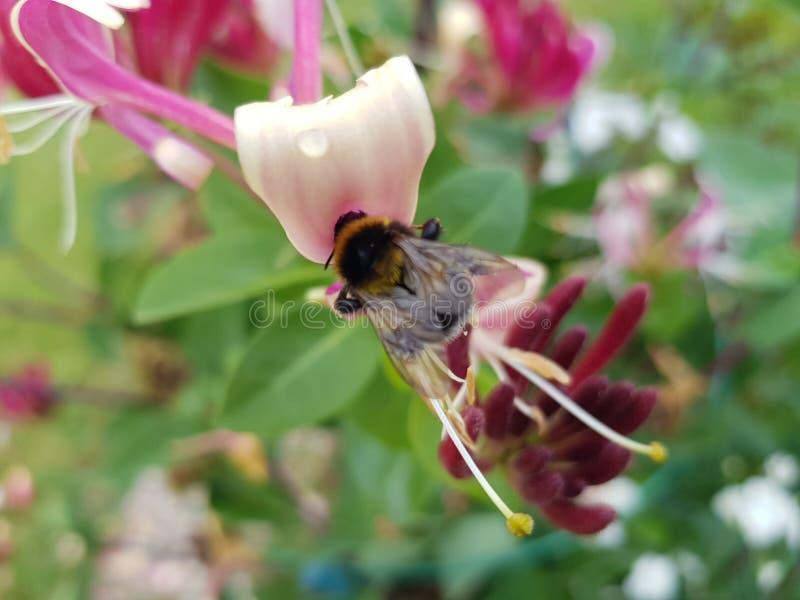 Bourdon en fleur photo stock