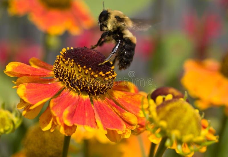 Bourdon environ au cordon sur une fleur photographie stock