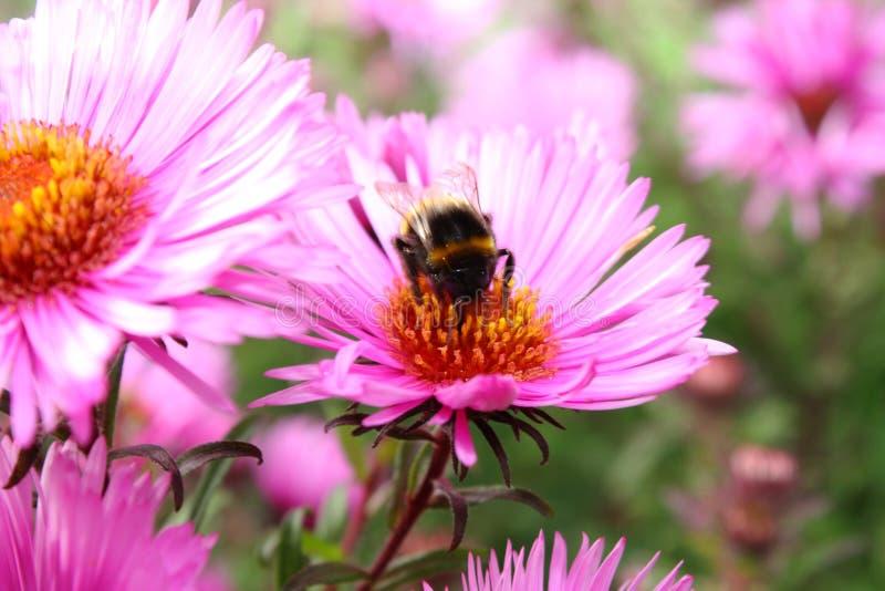 Bourdon et une fleur. photos stock
