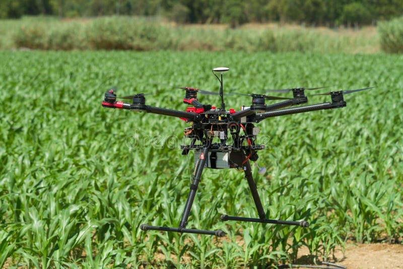 Bourdon planant au-dessus de la jeune plantation de maïs photo stock