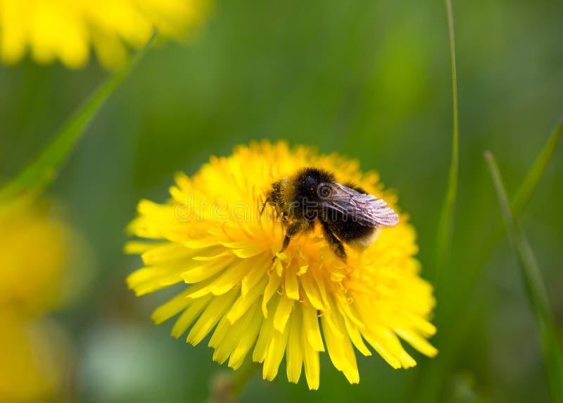 Bourdon se reposant sur la fleur jaune dans l'environnement vert photos libres de droits