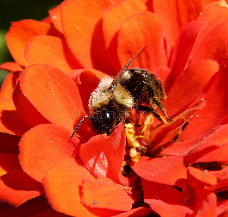 Bourdon se reposant sur une fleur orange de Zinnia photographie stock