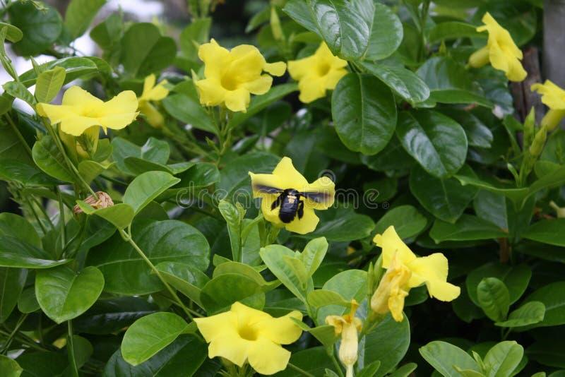 Bourdon sur la fleur image stock