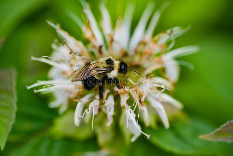 Bourdon sur le baume d'abeille photographie stock