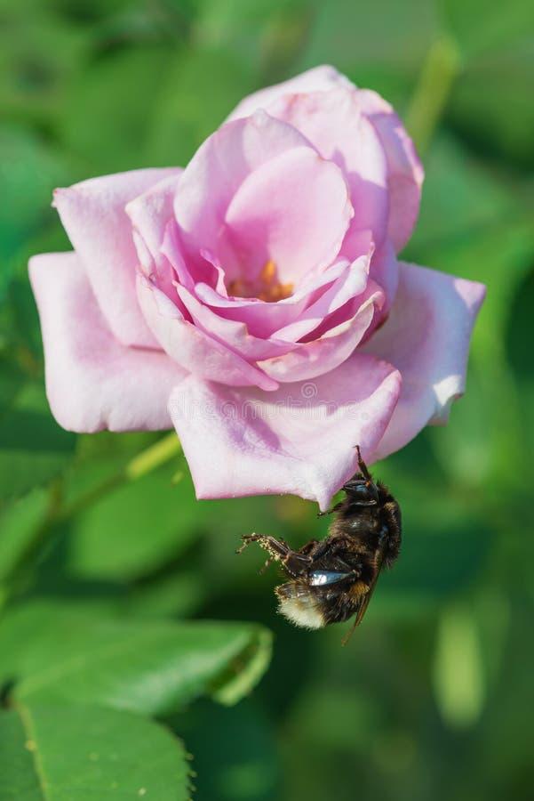 Bourdon sur une belle rose de rose image libre de droits