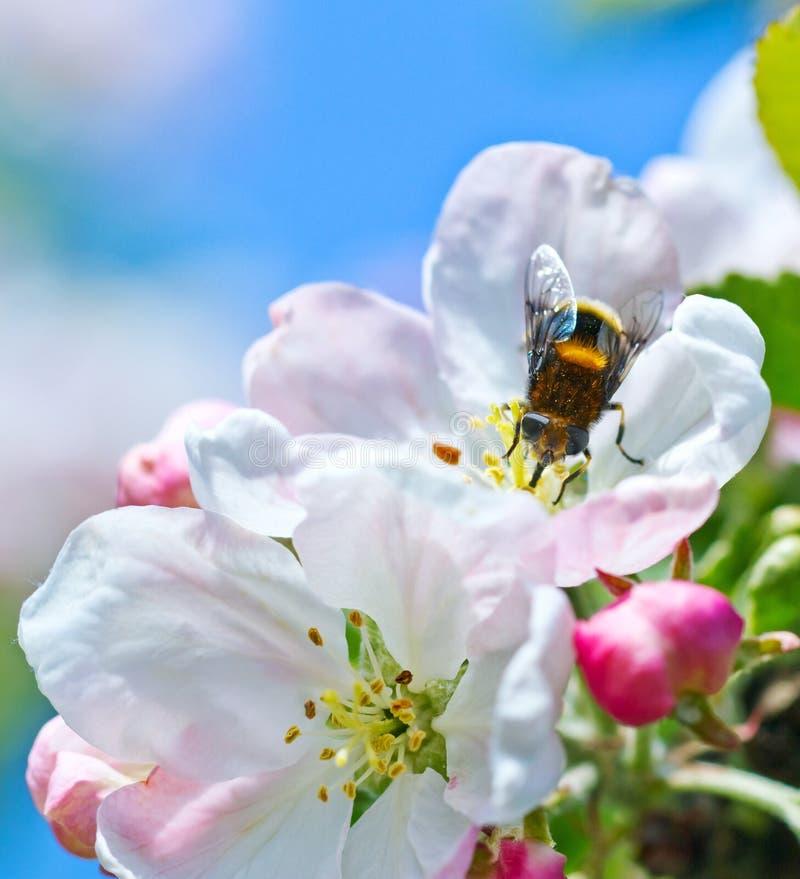 Bourdon sur une fleur photos libres de droits