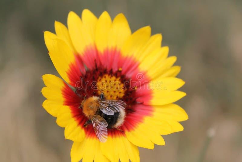 Bourdon sur une fleur photo libre de droits