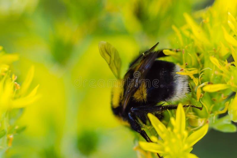 Bourdon sur une fleur jaune aléatoire photo libre de droits