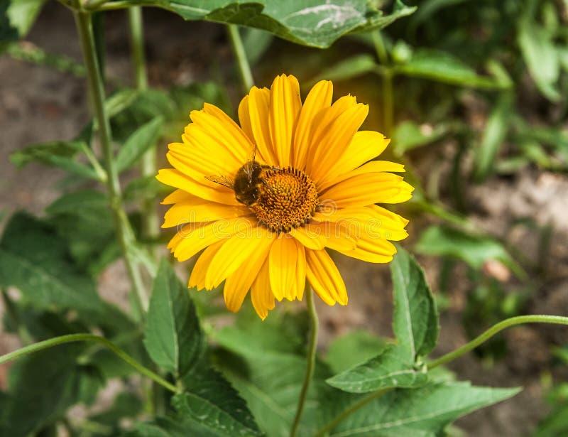 Bourdon sur une fleur jaune, plan rapproché photographie stock