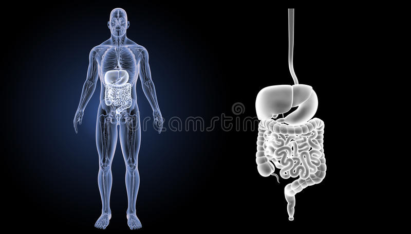 Bourdonnement d'appareil digestif avec la vue antérieure d'anatomie illustration stock