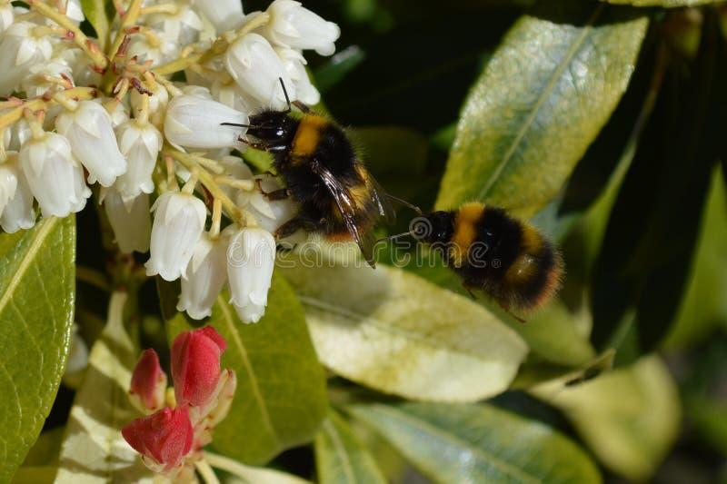Bourdons rassemblant le pollen photographie stock libre de droits