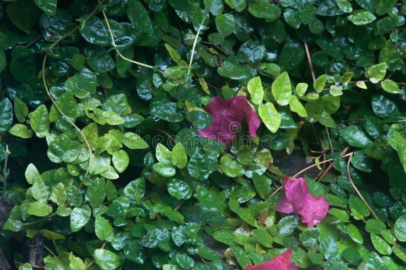 Bourganvilia liście przeciw mokrym zielonym liściom obraz stock