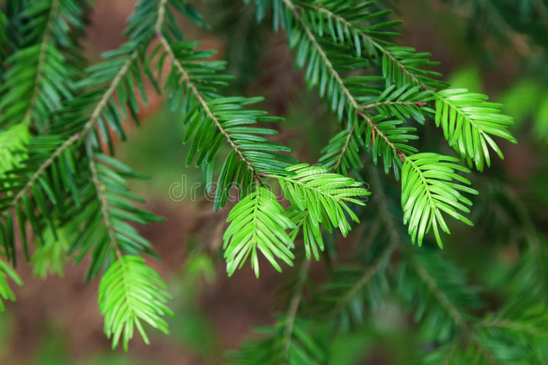 Bourgeon d'arbre de sapin qui se développent dans la forêt images libres de droits