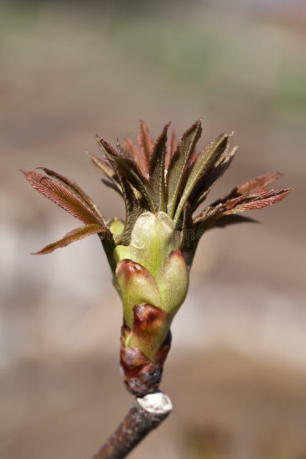 Bourgeon d'un arbre de maronnier américain rouge pendant le premier ressort photos stock