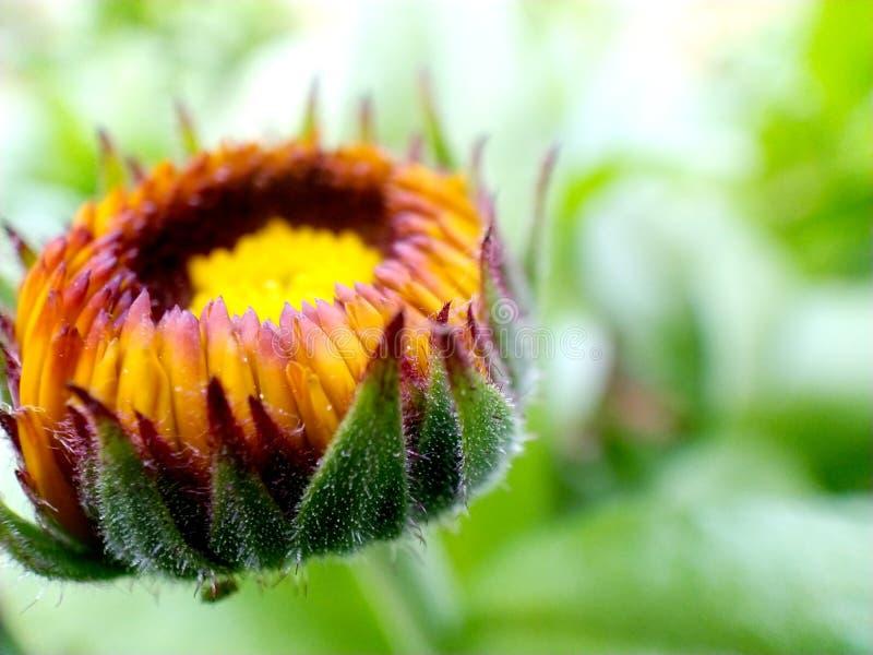 Bourgeon d'une fleur de calendula image stock