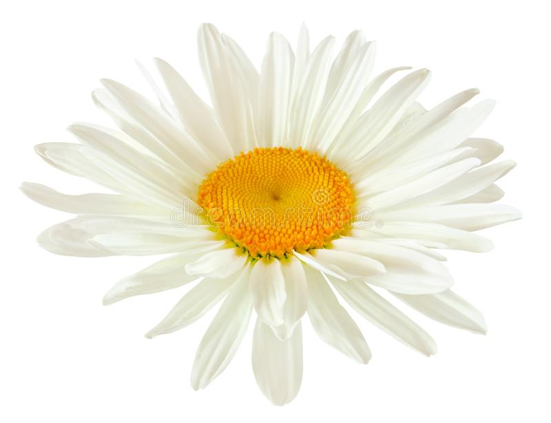 Bourgeon d'une fleur de marguerite avec les pétales blancs d'isolement sur le backgr blanc photo libre de droits