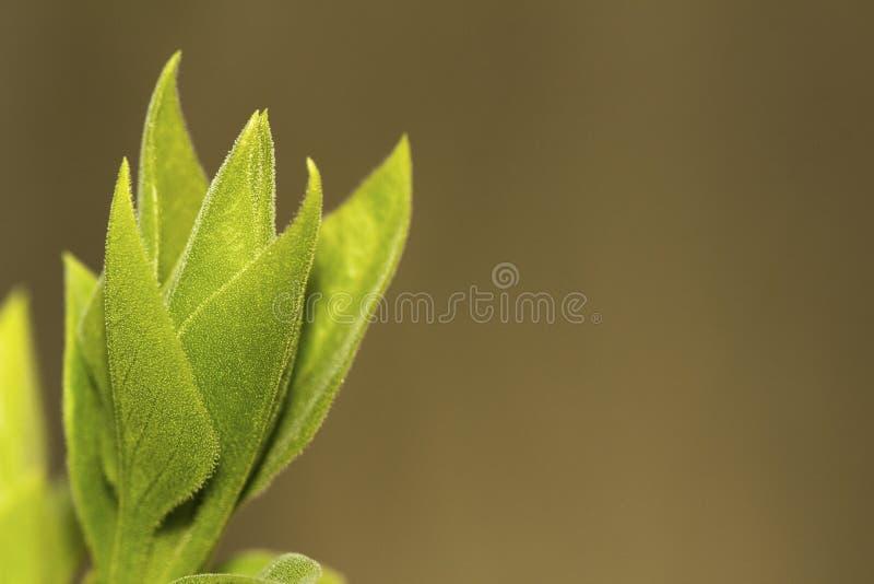 Bourgeon de feuille lilas en plan rapproché de printemps photos stock