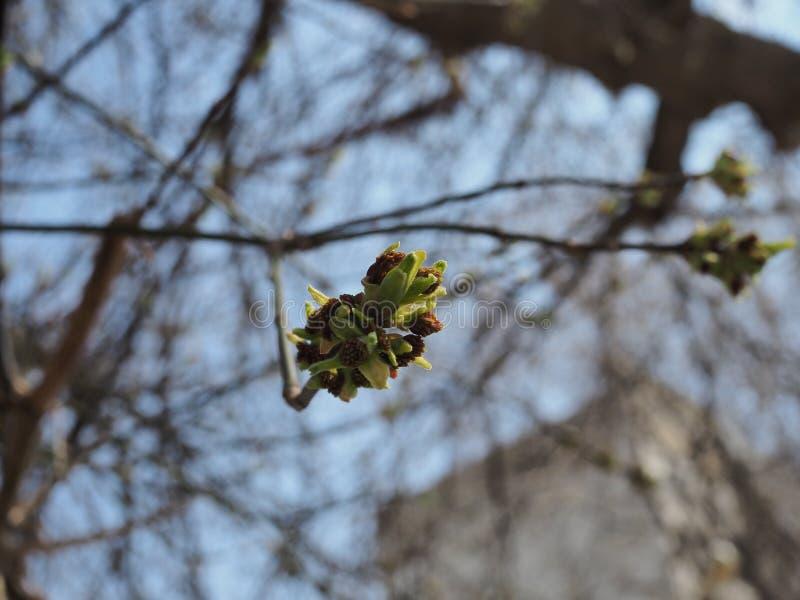 Bourgeon de floraison d'arbre contre le ciel bleu une journée de printemps photo stock