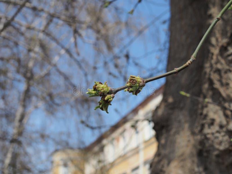Bourgeon de floraison d'arbre contre le ciel bleu une journée de printemps images libres de droits