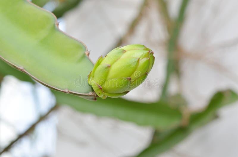 Bourgeon de fruit du dragon sur l'arbre, détail image libre de droits