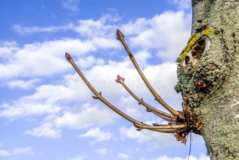 Bourgeon de hêtre annonçant le renouvellement de ressort photo libre de droits