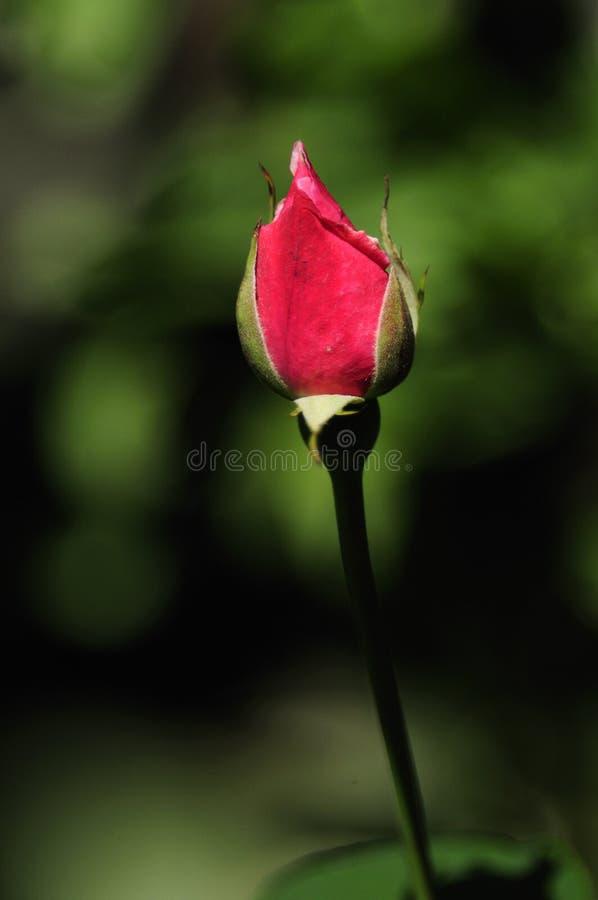 Bourgeon De Rose Photographie stock libre de droits