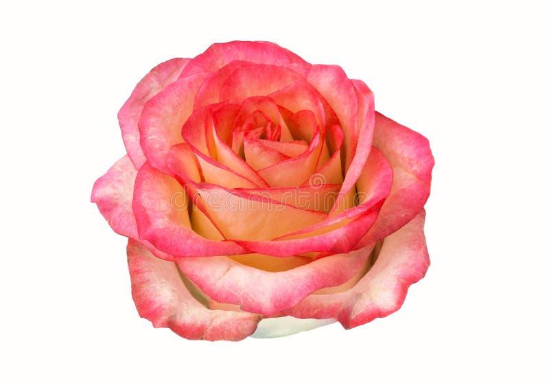 Bourgeon de Rose d'isolement sur le fond blanc clipart, fleur rose photographie stock