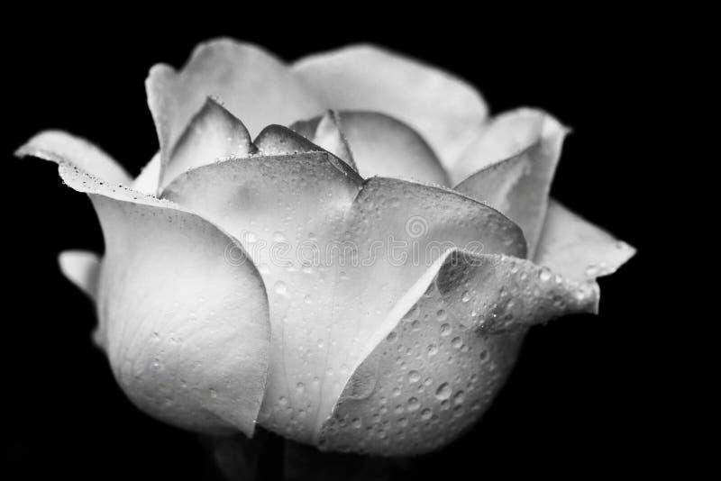 Bourgeon de Rose dans les gouttes de pluie dans le format noir et blanc images stock