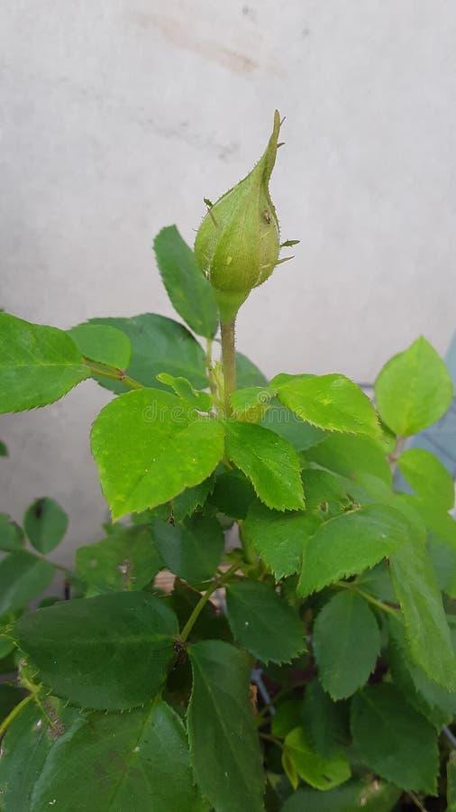 Bourgeon de Rose dans mon jardin image libre de droits