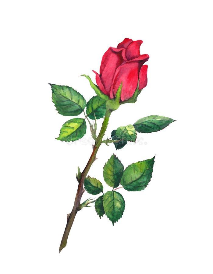 Bourgeon de rose de rouge avec des feuilles - une fleur à la tige watercolor illustration de vecteur
