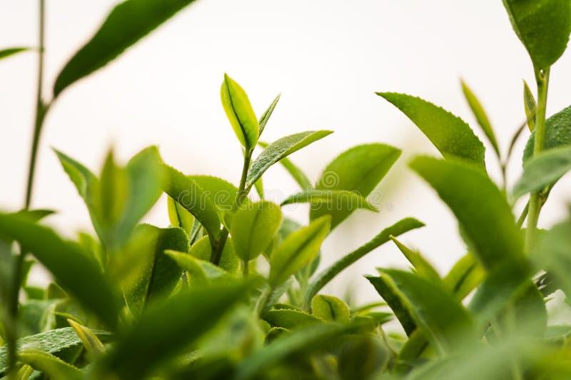 Bourgeon de thé vert image libre de droits