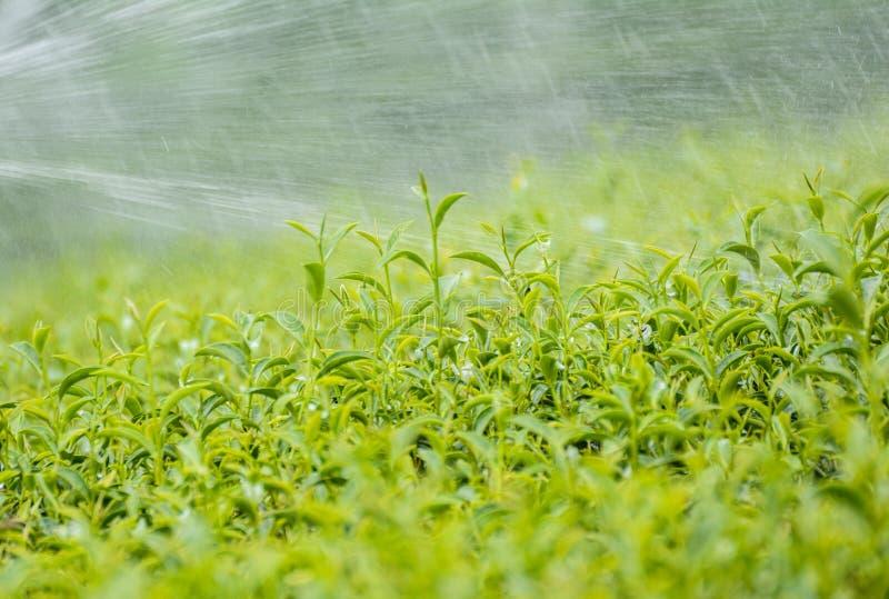Bourgeon de thé vert et lames fraîches plantations de thé photos libres de droits