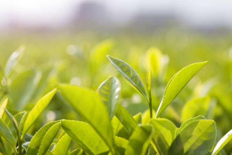 bourgeon et feuilles de thé vert photographie stock libre de droits
