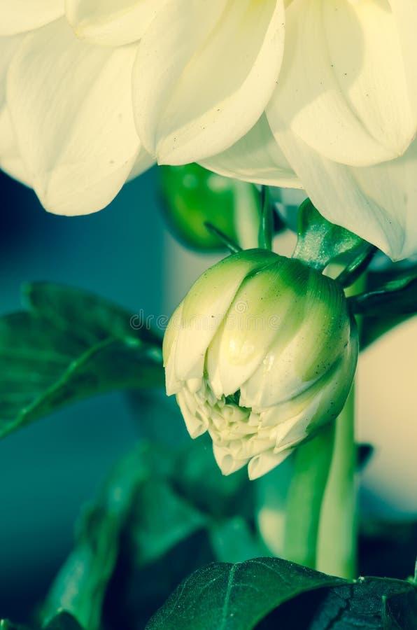 Bourgeon floral blanc image libre de droits