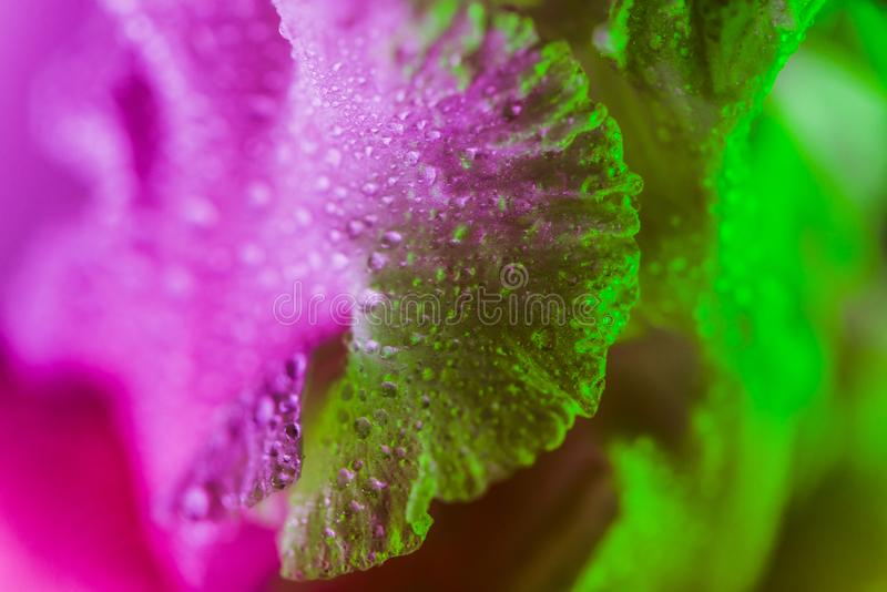 Bourgeon floral color? au n?on vif d'iris photographie stock libre de droits