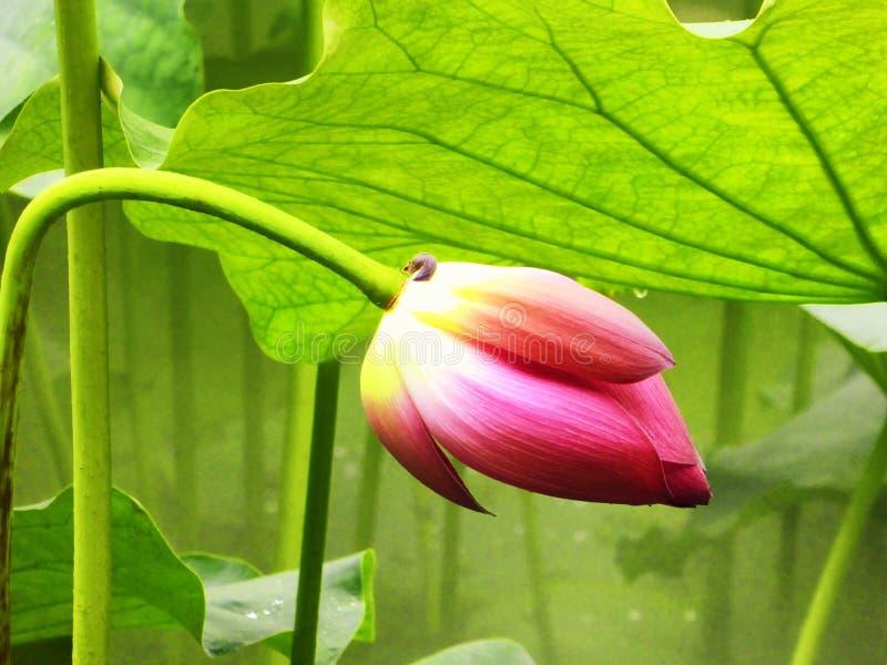 Bourgeon floral de Lotus à l'intérieur de jardin de Guyi photo libre de droits