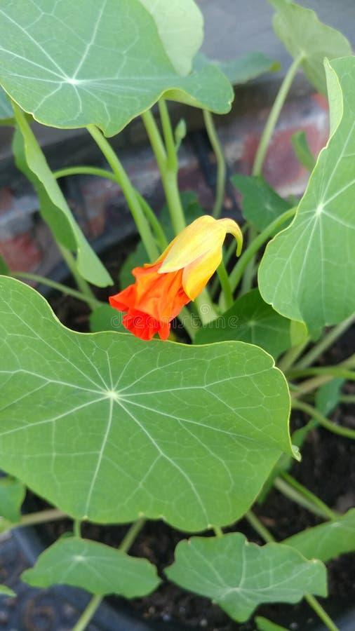 Bourgeon floral de nasturce images stock