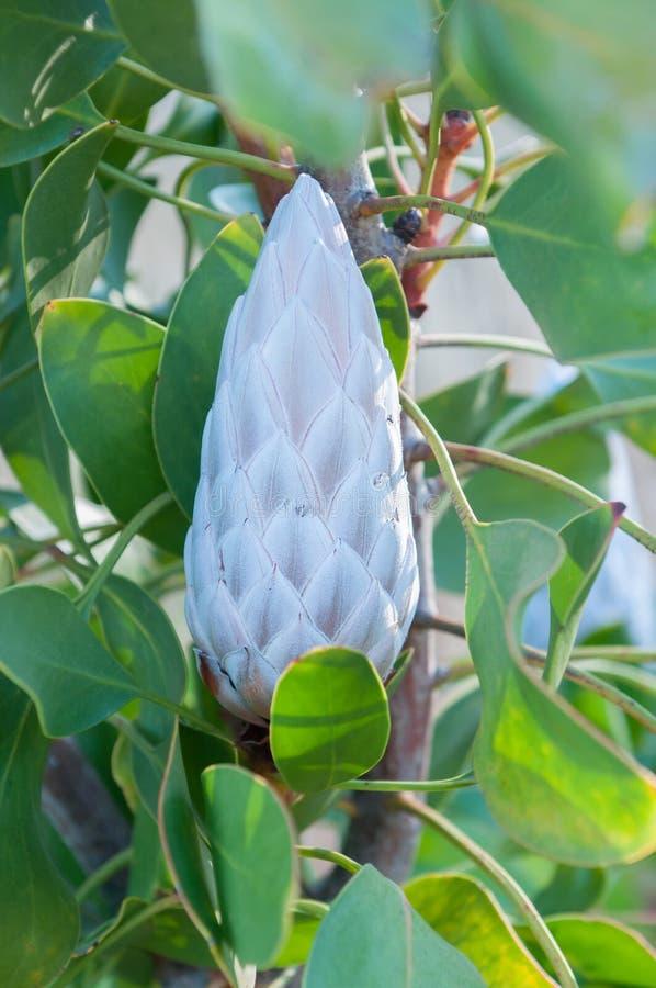 Bourgeon floral du Roi Protea image stock