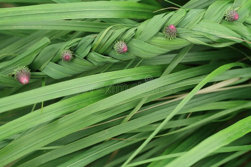 Bourgeon floral pourpre sur l'herbe verte photo stock